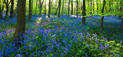 Bluebells covering the Forest Floor